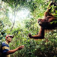 20141210 HBL Orangutanger p&aring; Sumatra.<br /> <br /> Van vid folk. Sumatraorangutangen Sandra och hennes rufsiga, ett &aring;r gamla unge vet att guiden Budiartono brukar ha med sig sockerr&ouml;r och mor&ouml;tter. Sandra, som &aring;terintroducerats till naturen, h&aring;ller till i utkanten av staden Bukit Lawang i nationalparken Gunung Leuser i norra Sumatras inland. <br /> <br /> Foto: Benjamin Suomela