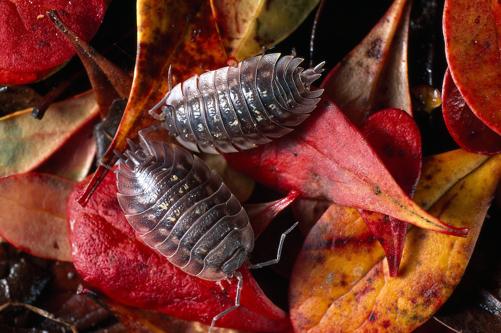 Woodlice amongst Berberis leaf litter