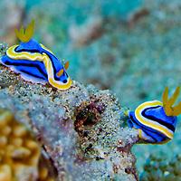 Alberto Carrera, Sea Slug, Dorid Nudibranch, Elisabeth's Chromodoris, Chromodoris elisabethina, Lembeh, North Sulawesi, Indonesia, Asia