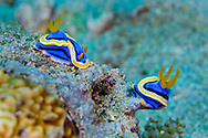 Alberto Carrera, Sea Slug, Dorid Nudibranch, Elisabeth's Chromodoris, Chromodoris elisabethina, Lembeh, North Sulawesi, Indonesia, Asia