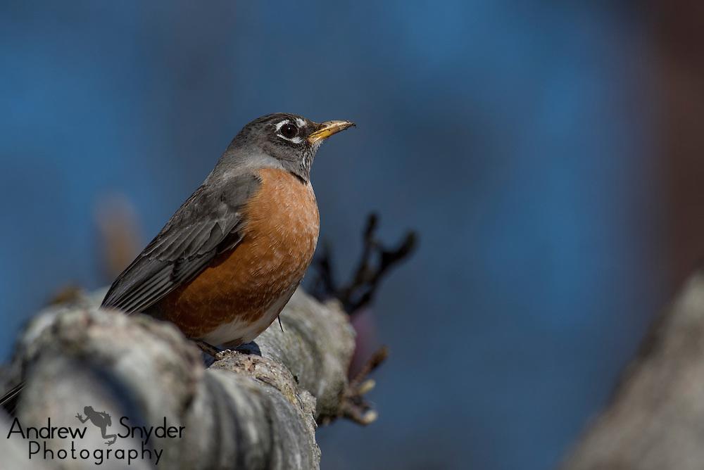 American robin (Turdus migratorius) - Oxford, Mississippi