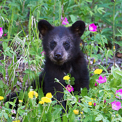 A black bear cub enjoys spring flowers.