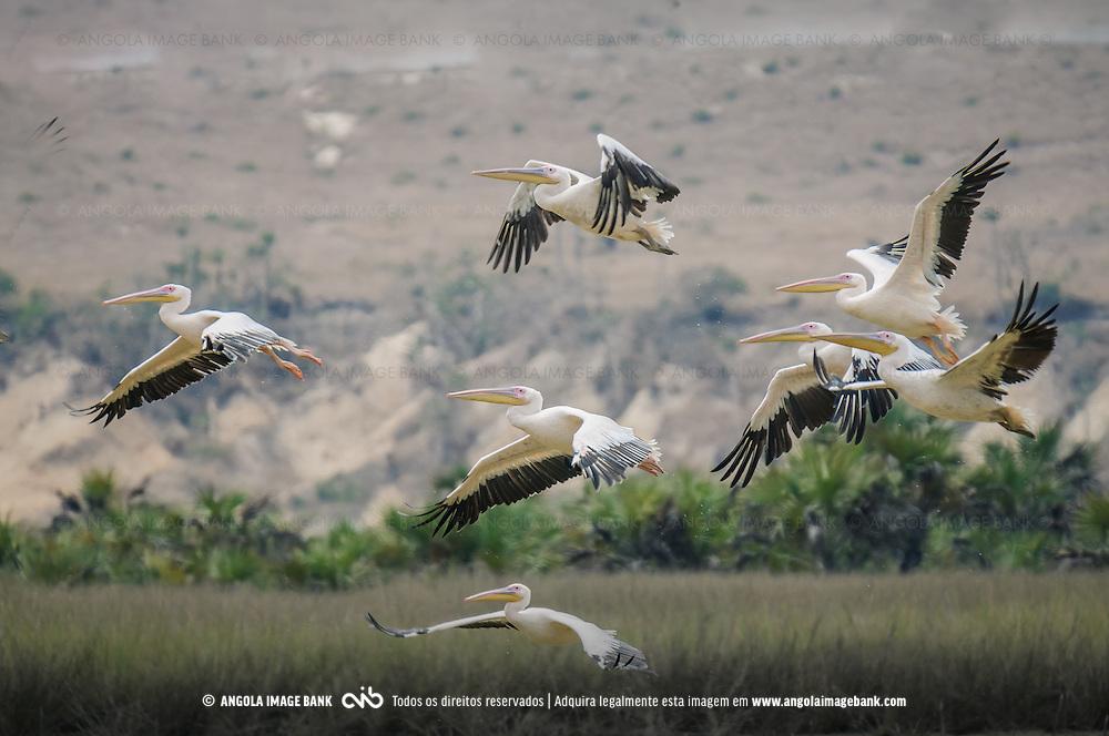 Bando de pelicanos (Pelecanus onocrotalus) nas salinas da Praia de Santiago, Bengo, Cacuaco, Angola.