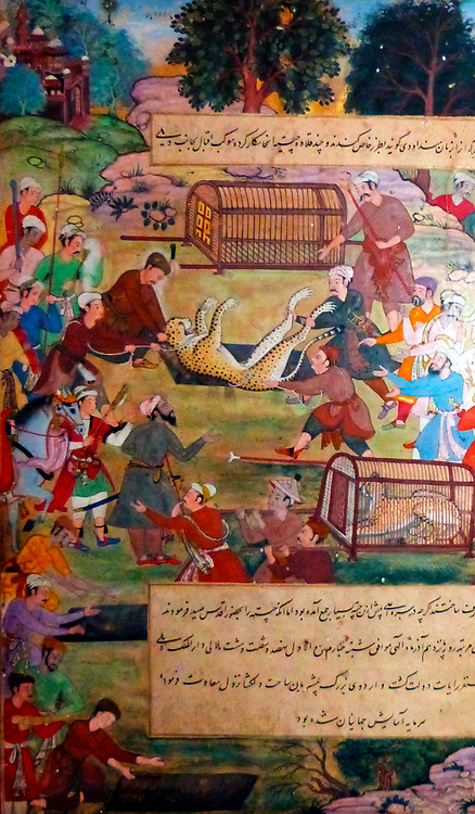 Akbar lifting captured cheetahs.  From the Akbarnama (Book of Akbar).  Comparison by Tulsi, painting by Narayan. Opaque watercolour and gold on paper, Mughal.  This painting records the first occasion (in 1560) when Akbar hunted cheetahs.   Animals were caught by luring them into specially dug pits, then tamed and trained to hunt.