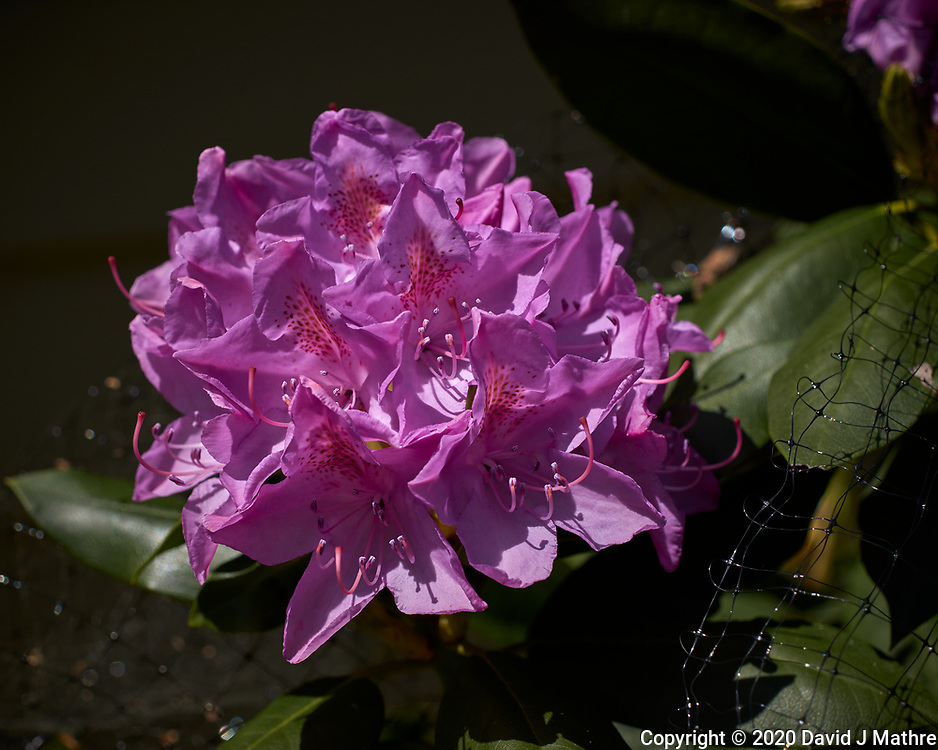 Rhododendron. Image taken with a Leica CL camera and 60 mm f/2.8 lens (ISO 100, 60 mm, f/5, 1/1600 sec).