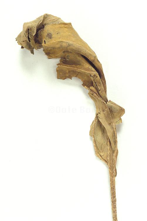 decomposing leaf