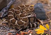 Northern pacific rattlesnake; Crotalus viridis; WA,