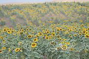 Sunflower grown for sunflower oil in Vashlovani, Georgia.