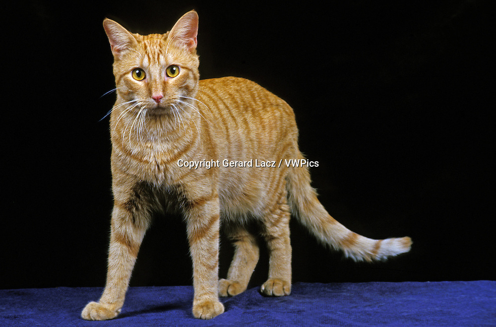 American Shorthair Domestic Cat, Adult against Black Background