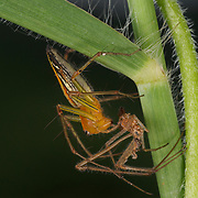 Burmese Lynx Spider, Oxyopes birmanicus, shedding its skin.
