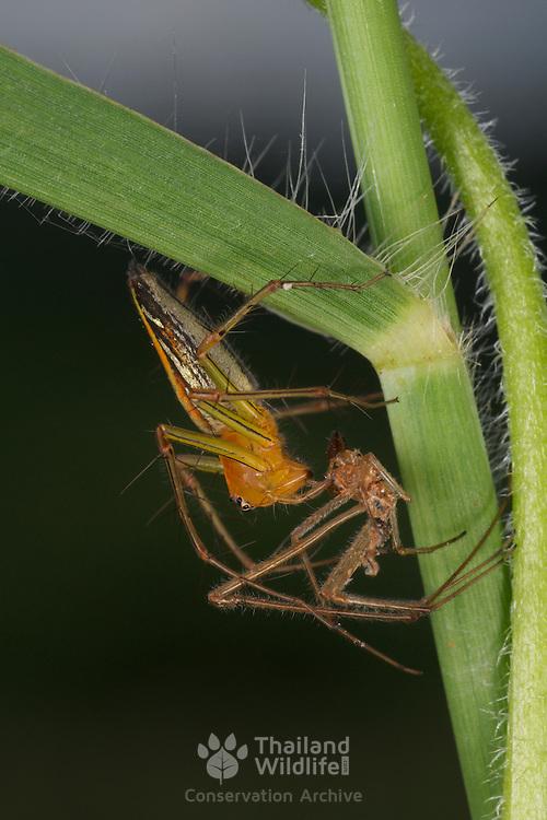 Burmese Lynx Spider, Oxyopes birmanicus, shedding its skin.