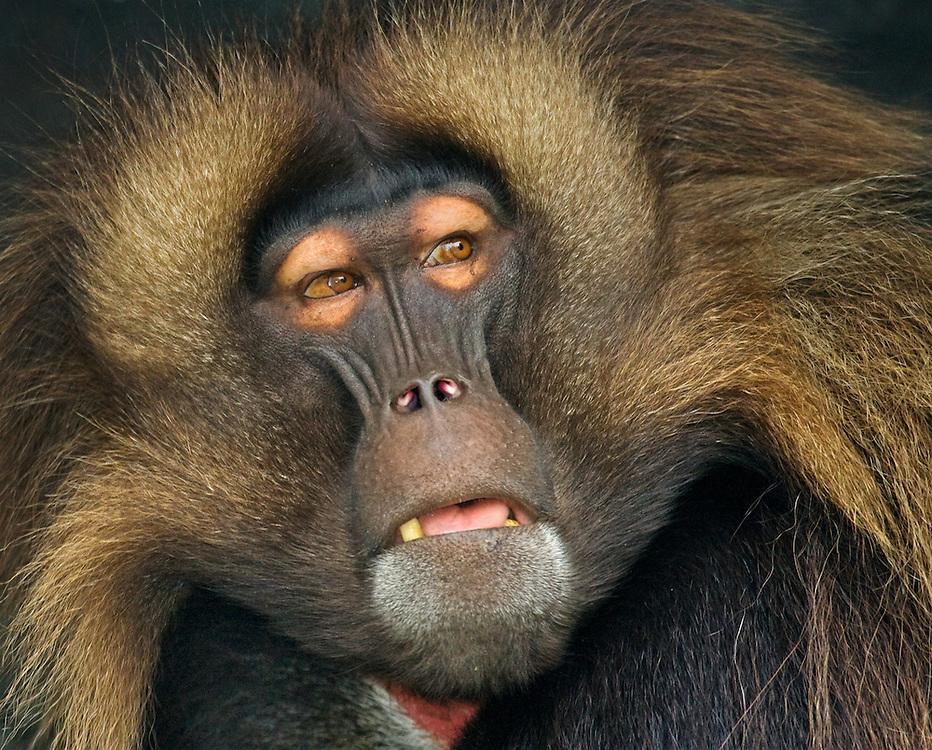 Gelada baboon (Theropithecus gelada), Bronx Zoo, New York