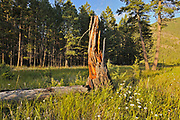 Old stump at sunset. Redstreak campground, Kootenay National Park, British Columbia, Canada