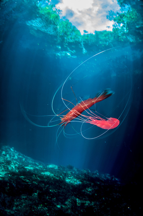 The Bahamian islands are potholed with blue holes and inland ponds. Each pond is unique and holds little-studied species like this yet-to-be-described red cave shrimp. Most blue holes have no protection from development, pollution, invasive species, or extraction.