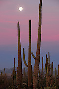 Saguaro cactus (Carnegiea gigantea) grow along Bajada Loop Drive as the full moon, a blue moon, sets in Saguaro National Park in the Sonoran Desert,Tucson, Arizona, USA.