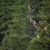 elk looking though fir tree