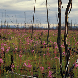 Tok, AK.A field of fireweed, Eplilbium angustifolium, colonizes a forest devasted by fire..