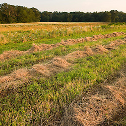 Hay dries in a field in Bridgewater, Massachusetts.  Summer.