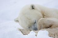 01874-11504 Polar Bear (Ursus maritimus)  sleeping Churchill Wildlife Management Area MB