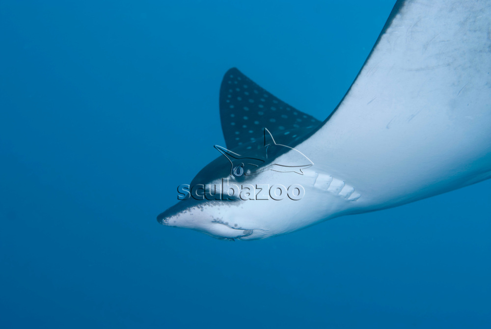 White-spotted Eagle Ray, Aetobatus narinari, The Maldives