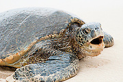 Hawaiian Green Sea Turtle with its mouth open.
