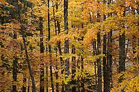 Greece, Pindos Mountains, Pindos NP, Valia Calda, Beech forest