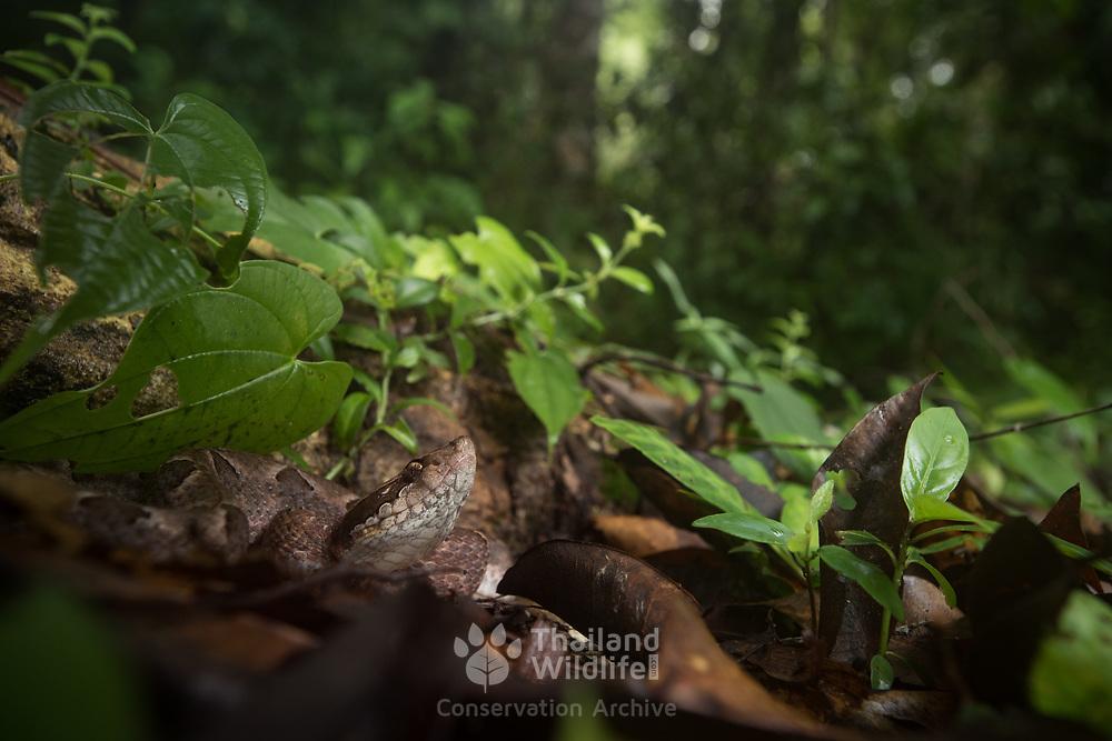 Malayan Pit Viper (Calloselasma rhodostoma) in Trang, Thailand