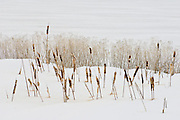 Cat tails in snow, White Lake, Lower Klamath National Wildlife Refuge, Oregon-California border.