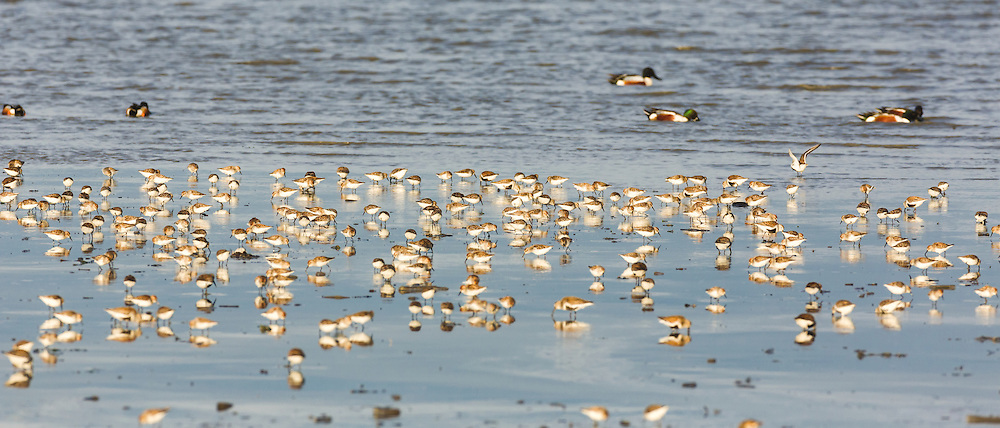 Western Sandpipers (Calidris mauri),  Dunlins (Calidris alpina), and Northern Shovelers (Anas clypeata) forgaging in Mud Bay along the Homer Spit in Southcentral Alaska during their spring migration to the arctic. Evening.
