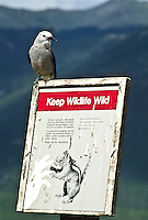 """Clark's Nutcracker (Nucifraga columbiana) A 13"""" bird, gray with black wings; black central tail feathers.  Prefers coniferous forests in western mountains, USA.  This bird is resting on a (Keep Wildlife Wild) sign at Rocky Mountain National Park, Colorado."""