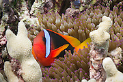 Red Black Anemonefish (Amphiprion melanopus) in Bulb Tentacle Sea Anemone (entacmaea quadricolor) - Agincourt Reef, Great Barrier Reef, Queensland, Australia.