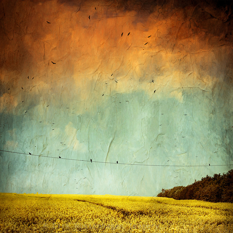 Painterly canola field in bloom with a flock of birds.<br />