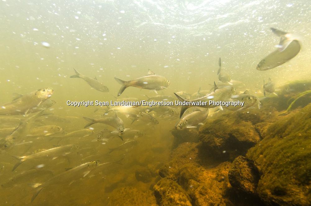 Alewife (with Blueback Herring)<br /> <br /> Sean Landsman/Engbretson Underwater Photography