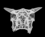Front view X-ray of a skull of a cow on black background