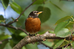 Red-breasted Robin (Photo by Alan Look)