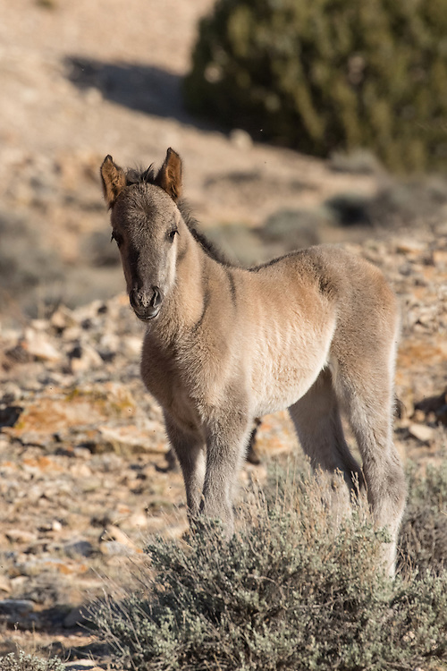 Little Quasar is the first Pryor Mountain foal of 2016.  This little colt was born in early April to the mare, Kitalpha and the stallion, Hickok. Quasar looks like a carbon copy of his mother, right down to his beautiful grullo coloring.