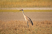 A Sandhill Crane walks the salt flats by the Great Salt Lake in northern Utah.