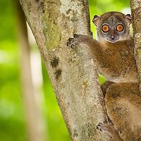 Lépilémur de l'Ankarana, Lepilemur ankaranensis, Ankarana, Madagascar