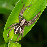 A Wolf Spider, Lycosidae, in Khao Soi Dao Wildlife Sanctuary, Thailand.