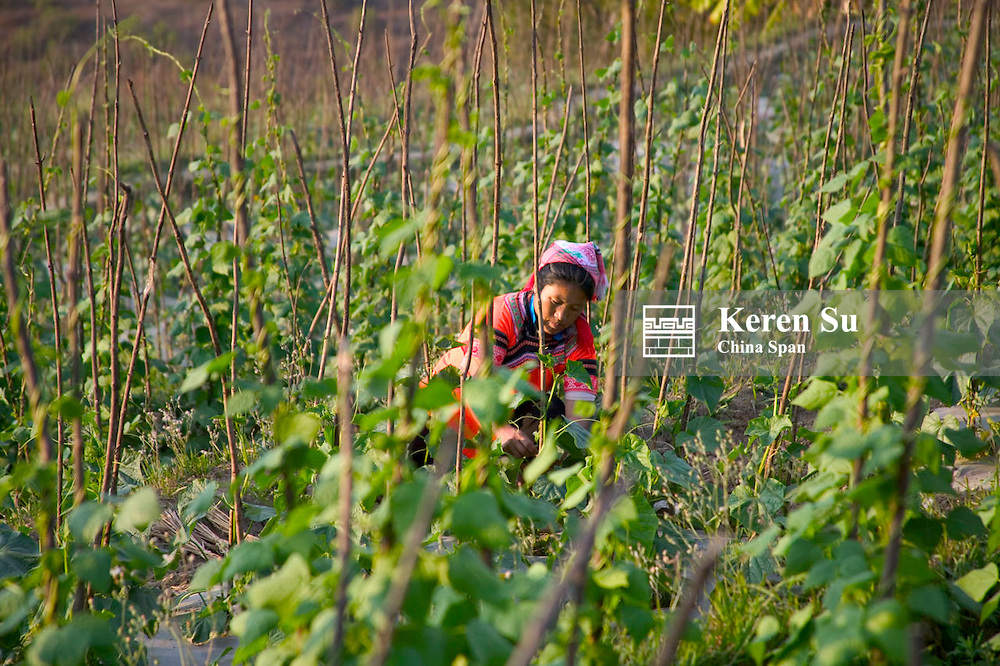 Farmer works in the pea vine patch, Yunnan Province, China