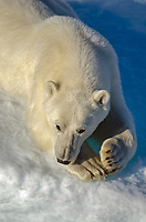 Polar bear on the sea ice in Prince Regent Inlet off Somerset Island in Nunavut, Canada.