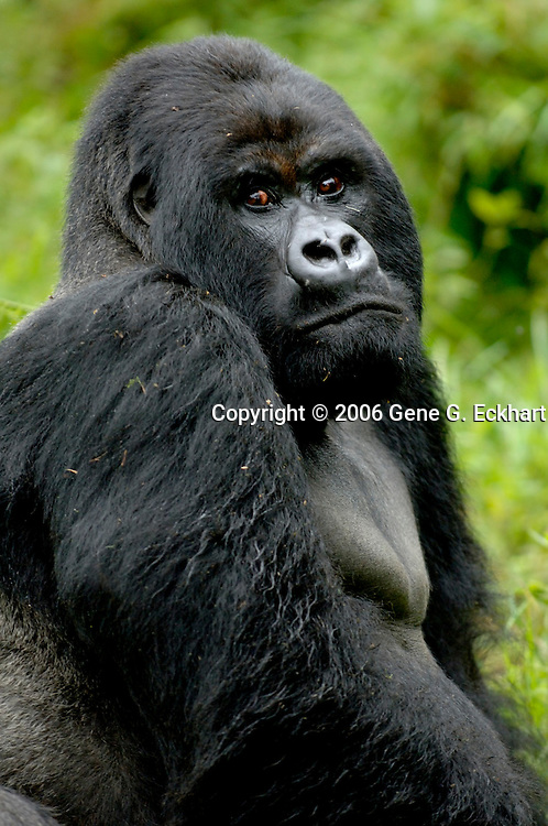 Mountain Gorilla (Gorilla beringei beringei) <br /> Virunga Volcanoes - Parc National des Volcans, Rwanda <br /> <br /> Guhonda from the Sabyinyo Group in Parc National des Volcans, Rwanda, is the largest silverback mountain gorilla in the world weighing in at approximately 450 pounds.