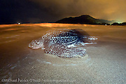 A female Leatherback Sea Turtle, Dermochelys coriacea, nests at nighttime in Grand Riviere, Trinidad, and returns to the Caribbean Sea.  Flash used with special permit. During peak nesting season in late May / early June, this beach will receive roughly 300 nesting Leatherback every night, making it one of the busiest and most important nesting locations in the world for the critically endangered species.