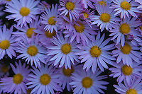Light purple mums