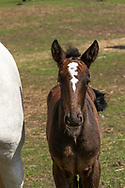 Brown Kladruber Foal on grass staying close to the Mare. The Czech Republic, Europe