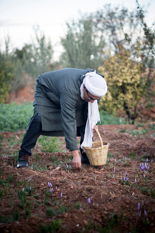 Farmer harvests crocus sativus flowers at saffron farm in Taliouine, Sirwa Mountain Range, Souss Massa Draa region of Southern Morocco, 2015-10-25.