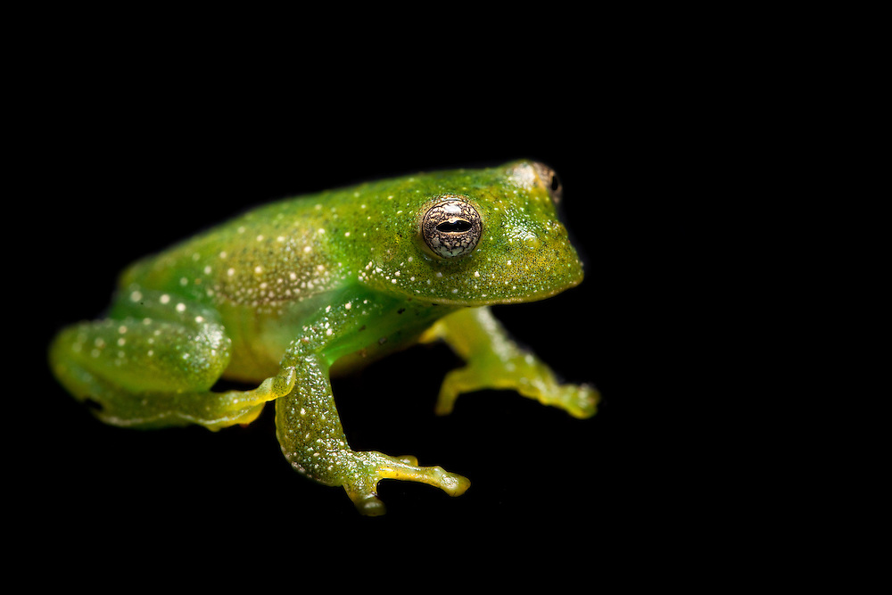 Giant glass frog, Centrolene antioquensis, near Sonson in Antioquia, Colombia