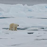 A Polar Bear roams the ice north of Point Barrow, Alaska.