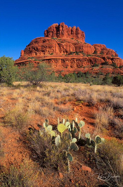 Morning light on Prickly Pear Cactus under Bell Rock, Coconino National Forest, Sedona, Arizona