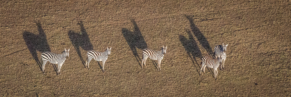 Plains Zebras, Tanzania<br />      From a balloon, high above the Serengeti.
